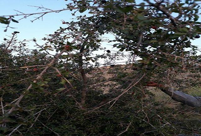 آغاز فصل برداشت گیلاس وحشی از کوههای بشاگرد