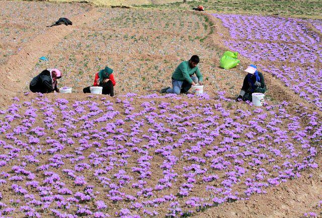زعفران افغانستان، بلای جان طلای سرخ ایران
