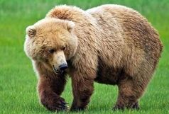 درگیری خونین یک خرس با چوپان بویراحمدی