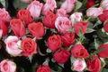 بیش از یک میلیون شاخه گل رز هلندی در خلخال تولید می شود