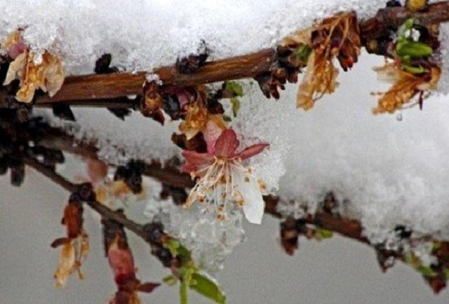 خسارت ۳ هزار تنی محصولات باغی ملایر بر اثر سرمازدگی