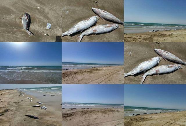 مشخص شدن علت مشاهده لاشه گربه ماهیها در سواحل جاسک
