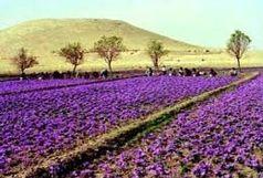 2کیلوگرم گل زعفران تَر از مزارع بوکان برداشت می شود