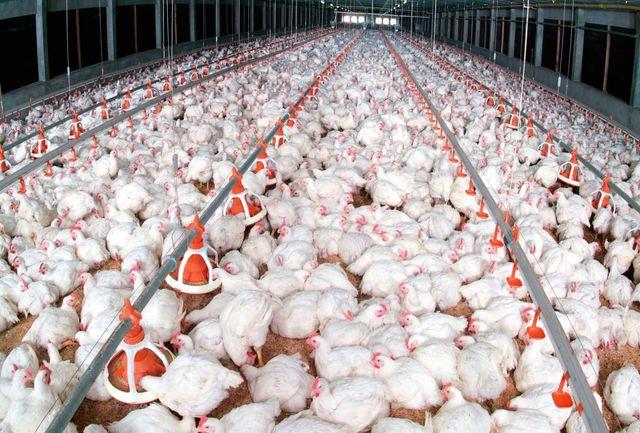 تورم ۹۶ درصدی قیمت تولیدکننده مرغداریهای صنعتی