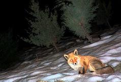 رها سازی یک قلاده روباه مزاحم در قم