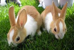 شکارچیان متخلف خرگوش دستگیر شدند