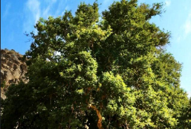 شناسایی ۵۵ درخت کهنسال جهت ثبت ملی در اردبیل