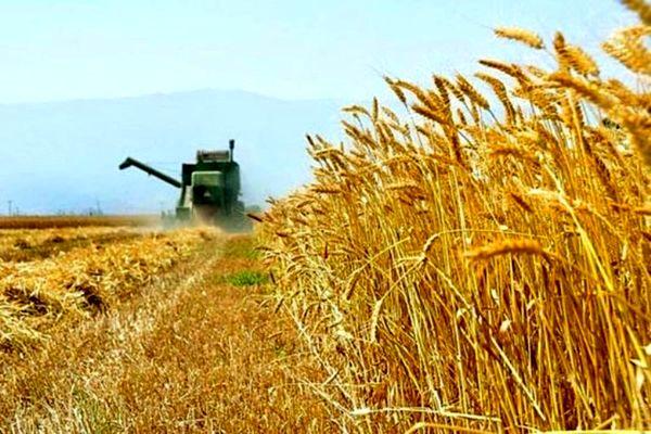 با نظارتهای وزارت جهاد کشاورزی تولید گندم از مرز ۱۴ میلیون تن فراتر خواهد رفت