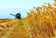 پیش بینی تولید ۶۹ هزار تن گندم در شهرستان ارومیه