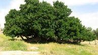 وجود کهنسالترین درختان کشور در خراسانشمالی