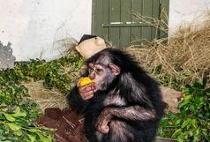 آخرین وضعیت «باران» شامپانزه معروف در کنیا