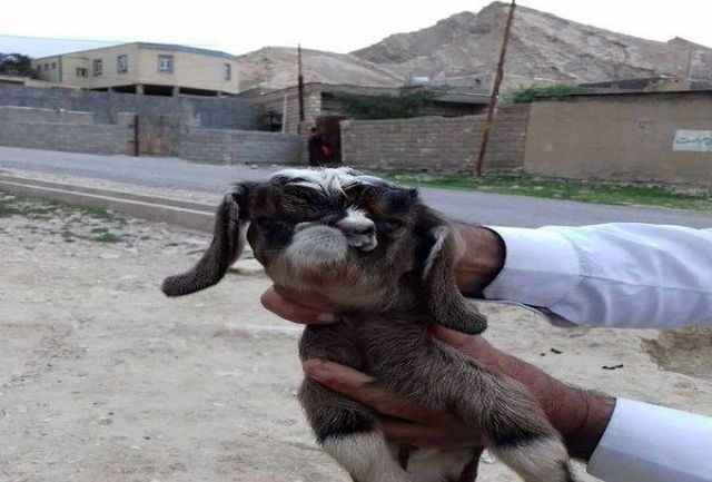 تولد بزغاله عجیب الخلقه در روستای بیشه دراز