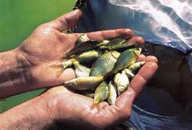 توزیع 22 هزار بچه ماهی کپور در شهرستان فردوس