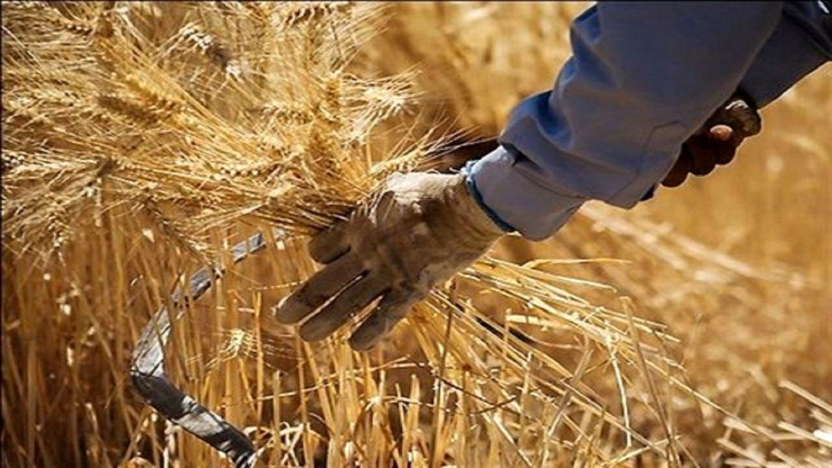 کشف ۲۶ تن گندم فاقد مجوز میلیاردی در بوکان