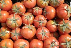 پیش بینی برداشت ۳۱۷ هزار تن گوجه فرنگی از مزارع میناب