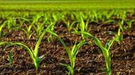 ۱۵ رقم جدید زراعی دیم به زودی رونمایی می شود