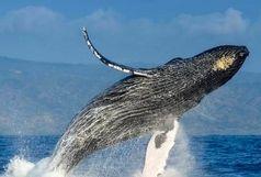 این نهنگ آواز میخواند!