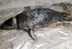 کشف لاشه یک قلاده فک خزری در ساحل رودسر