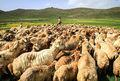 در استان کرمانشاه ۴.۵ میلیون دام باید هویتگذاری شوند