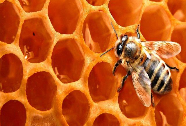 تولید بالغ بر 21 تن انواع فرآوردههای زنبور عسل در استان زنجان