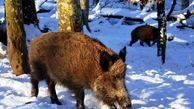تلف شدن 39 حیوان بر اثر تصادف در پارک ملی گلستان