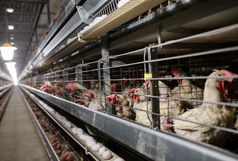 کامیون های حامل مرغ زنده در بوئین زهرا توقیف شد