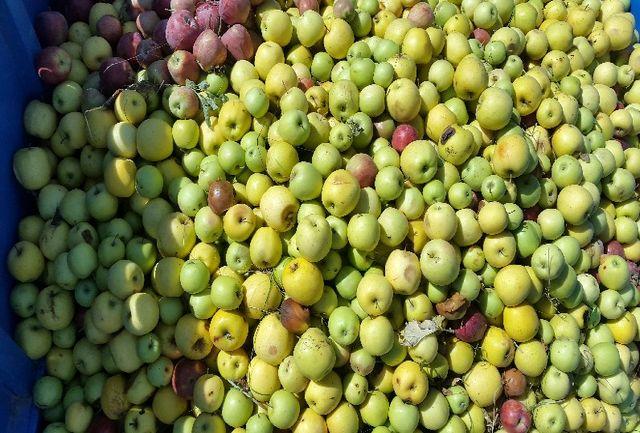 100 هزار تن سیب درختی در سردخانههای آذربایجانغربی موجود است