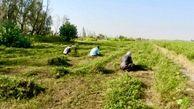 برداشت افزون بر پنج هزار تن حنا در شهرستان دلگان/ زمینه اشتغال هزار و 500 نفر فراهم شد