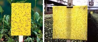 توزیع کارت زرد جلب کننده آفات با نام تجاری fikachemical غیر مجاز است