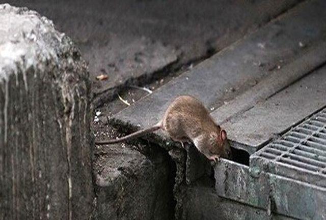 مدیرعامل شرکت ساماندهی صنایع و مشاغل شهرداری تهران: موش از بین نمیرود و همیشه وجود دارد/ متخصص محیط زیست: تعداد موشهای تهران از تعداد ساکنان این شهر بیشتر است