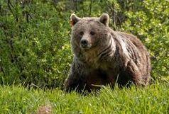 مصدوم شدن جوان کوهرنگی بر اثر حمله خرس