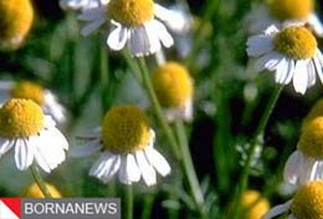شناسایی ۳۱۳ گونه گیاه دارویی در مراتع استان همدان
