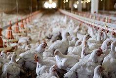 هیچ گزارشی از شیوع آنفلوآنزای پرندگان در استانها نداشتیم