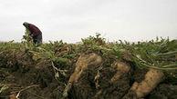 خرید تضمینی یک میلیون و ۳۴۵ هزار تن چغندرقند از کشاورزان آذربایجانغربی