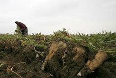 پیشبینی برداشت ۲ میلیون تن چغندر قند در آذربایجانغربی