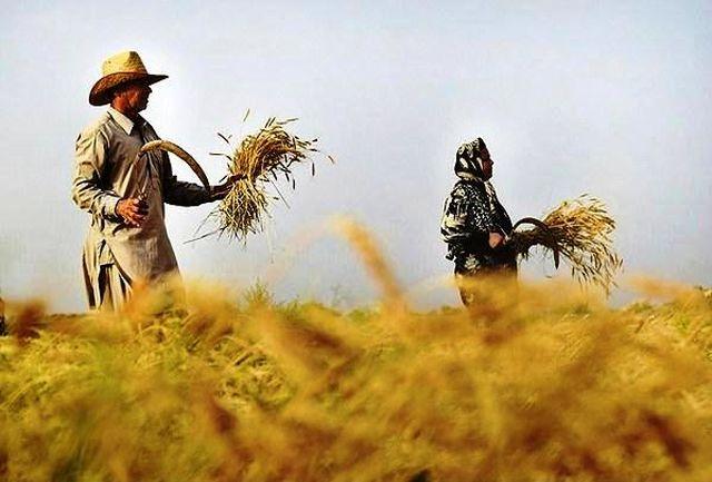 تولید گندم در شهرستان قرچک از مرز 8 هزار تن گذشت