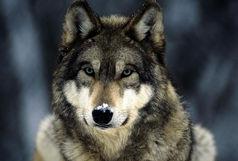 به دنیا آمدن گونه ای جدید به اسم گرگاس که به مراتب خطرناکتر از گرگ است