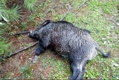 کشتار وحشیانه ۱۸ راس گراز وحشی در منطقه پیربازار رشت
