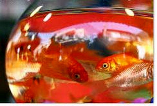 ماهی قرمز را از مراکز مجاز بخرید