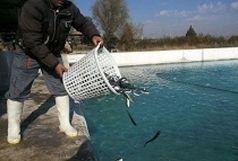 تولید ماهی در تفرش افزایش یافت