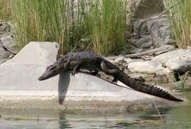 تمساح ها در آبنمای مرکز شهر پیشین در سیستان و بلوچستان