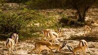 حمله سگهای ولگرد به آهوان یزدی
