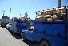 در همدان با کمبود گوشت مواجه هستیم/ دام های مولد همدان به کشورهای عراق و کویت صادر شد