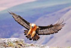 سه سال حبس  برای  شکارچیان غیرمجاز پرندگان شکاری