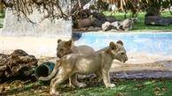 توله شیرهای آفریقایی در پارک حیات وحش کرج نگهداری می شوند