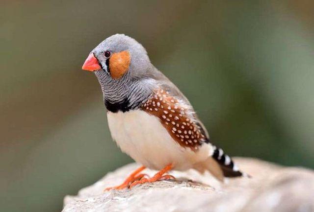 کاشت خاطرات ساختگی در مغز پرندگان موجب تغییر لحن آوازشان شد