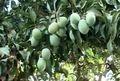 رتبه دوم سیستان و بلوچستان در تولید انبه
