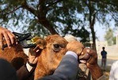 طرح پلاک کوبی بیش از 10هزار نفر شتر در هرمزگان اجرا می شود
