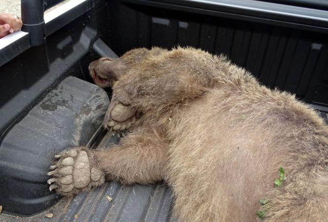 کشته شدن یک خرس قهوه ای در تالش