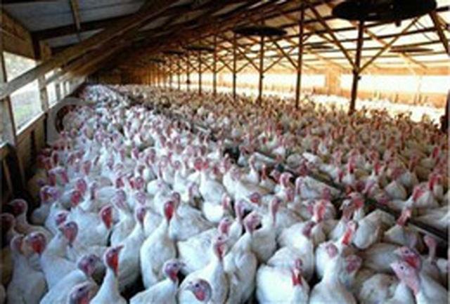 تولید 190 تن گوشت بوقلمون در همدان